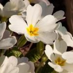 primroses-289395_640